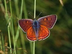 Purple-shot Copper - Butterflies of Europe - Lycaena alciphron