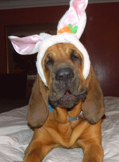 Our Bloodhound Bunny