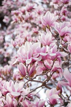 Magnolia Liliflora by yocca, via Flickr