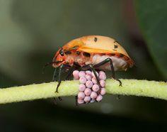 The wacky, wild world of Australian insect eggs Stick Insect Eggs, Australian Insects, Types Of Eggs, Insect Species, Stink Bugs, Beautiful Birds, Ants, Habitats, Haha