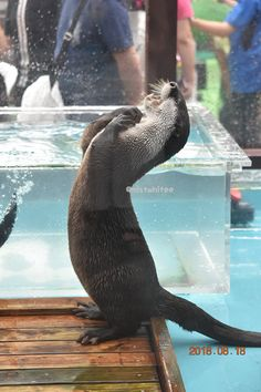 You got this tub for ME? Human, you Cute Funny Animals, Cute Baby Animals, Animals And Pets, Otters Cute, Baby Otters, Otter Love, Sea Otter, Tier Fotos, Mundo Animal