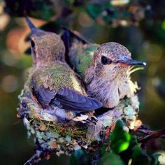 Flying Jewels, God`s Awesome & Gorgeous Creation. — Babies hummingbirds❤