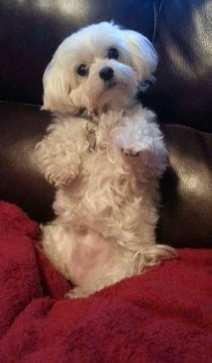 Maltese He looks like my grandson pepino when he wants his belly rubbed Cute Puppies, Cute Dogs, Dogs And Puppies, Dogs 101, Maltese Dogs, Maltese Poodle, Baby Maltese, Teacup Maltese, Pomeranian Puppy