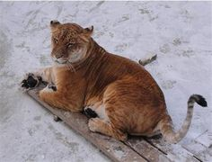 Liger Speed in the Wild for Hunting the prey. Surviving In The Wild, Hippopotamus, Cubs, Panther, Ligers, Deer, Hunting, Lion, Survival