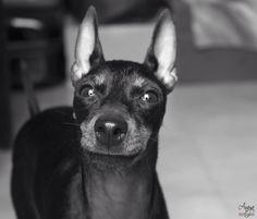 Youkie  #EnglishToyTerrier #Dog #AnayaPhotography