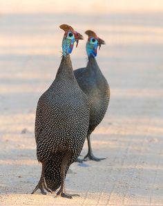 Helmeted Guinea fowl ..