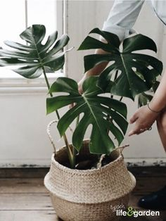 Gatenplant (Monstera deliciosa) D 21 cm Interior Design Plants, Belle Plante, Decoration Plante, Home And Deco, Exotic Flowers, Green Plants, Plant Decor, Indoor Plants, Ikea Plants