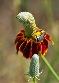 Prairie Cone Flower (Mexican Hat) Honey Bee Pollen Sacs