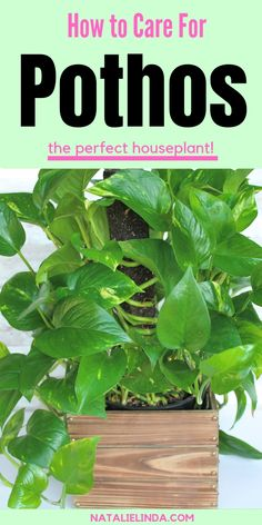 How to Take Care of a Pothos Plant Pothos plants are the easiest houseplant to care for! They're very low-maintenance and are the perfect starting point for gardening beginners! Learn how to care and grow pothos with this simple growing guide! Pothos Plant Care, Pothos Vine, Plante Pothos, Pot Plante, Low Maintenance Indoor Plants, Low Maintenance Garden, Inside Plants, Ivy Plants, Hedging Plants