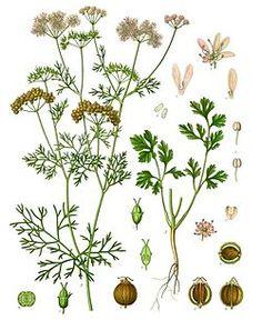 Cilantro - Coriandrum sativum