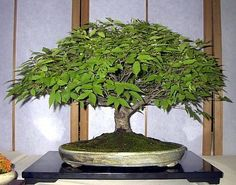 Japanese Zelkova Bonsai - 25 Seeds