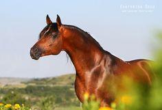 Nitagor (RU) 2001 Bay Straight Russian Arabian stallion. Gordon {Naftalin x Gardina by Menes} x Nezabudka {Drug x Nutria by Topol} Owned and bred by Tersk Stud, Russia [Photo: Ekaterina Druz]