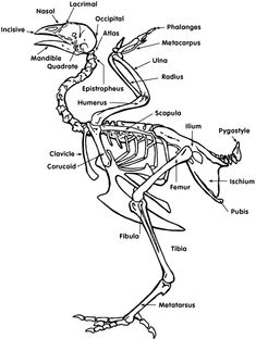 The skeletal system provides the chicken with structural support. In addition, the skeletal system assists in respiration and calcium tra. Wing Anatomy, Anatomy Bones, Chicken Anatomy, Bone Drawing, Breast Cancer Crafts, Skeleton Anatomy, Skeleton Drawings, Workshop Plans, Chicken Bones