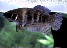 The female will display vertical bars on her body and will angle her head down submissively. A sign that the female betta is ready to breed!