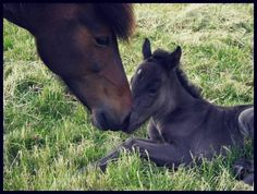 Icelandic mare with foal