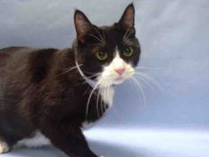 """MALFIA  - A1091582 - - Manhattan   *** TO BE DESTROYED 10/13/16 *** BEGINNER BEAUTY & HEAD BUTTER!! MALFIA is a terrific tuxie whose owner can no longer care for her….Ten years young, she is already SPAYED and just a little lovebug!!…""""Malfia head-butts the assessor's hand and appreciates petting on the head and body. Reaction to Being Picked up: Allows the pickup and remains calm""""…This lovely lady is the purrfect companion but she has a"""