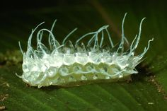 Absurd Creature of the Week: It's Not a Jewel—It's the World's Most Stunning Caterpillar | Minacraga plata  | Credit: Daniel Janzen | From WIRED.com