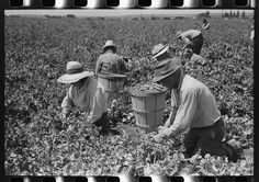 Picking peas. Nampa, Idaho. These people live in the contractor's pea pickers camp Digital ID: (digital file from original neg.) fsa 8a30089 http://hdl.loc.gov/loc.pnp/fsa.8a30089