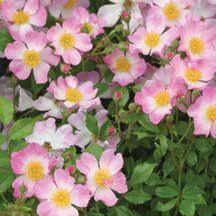 Oso Easy Fragrant Spreader Rose | Groundcover Roses | Edmunds' Roses