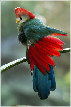 Red Crested Turaco native to western Angola. Its call sounds somewhat like a jungle monkey.