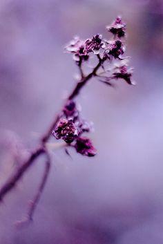 love the purple colors but unfortunately a dead rose bush