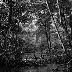 Mangrove forest, Macaca Island, São Caetano de Odivelas, PA, 2011 by Edu Simões