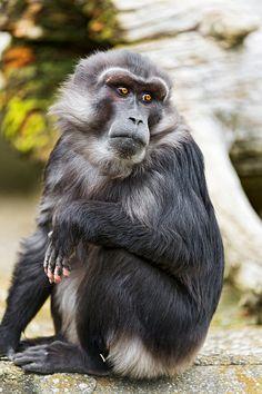 ˚Tonkean macaque