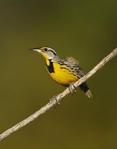 Beautiful Meadowlark