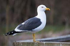 Lesser Black-backed Gull Larus fuscus. First was 2 adult and 1 Juvenile at the Meadows, Cape May. They moved and I saw them again the following day at the Point.