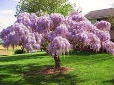 Wisteria trained into a weeping tree .. so pretty.