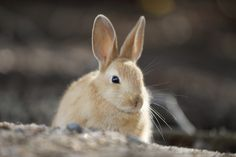 https://flic.kr/p/B1HkpP | Rabbit | Located : Okuno island, Hiroshima pref. 広島県 / 大久野島