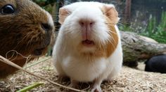 Types of guinea Pig Breeds – Guinea pigs also called cavies make a few of the pets and you can not help but love them. These amusing and talkative little creatures have been kids pets for a very long time, they are always a lot of fun although they have been a constant source of entertainment, sometimes they are excellent escape artists.  There are a lot of breeds of those small, active animals some of which can be considered fairly infrequent and others popular. DIFFERENT TYPES OF GUINEA…
