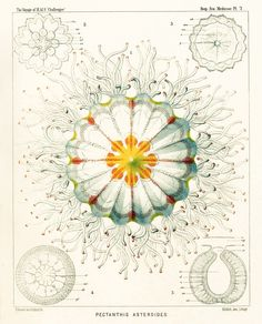 Ernst Haeckel : Art Forms of Nature  Lithographic and Autotype prints  1899 -1904.