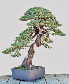 "Wonderful white pine ^-^  Master Seiji Morimae's Garden ""Uchiku-tei"", Japan #bonsai_master"