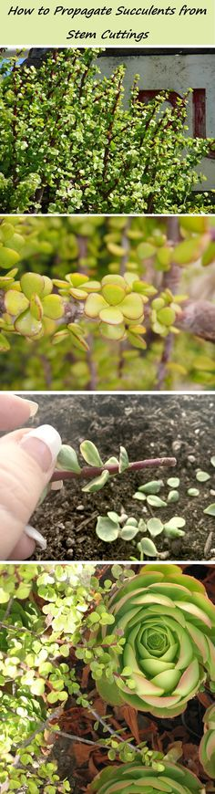 Learn how to propagate succulents from stem cuttings, AND why this works! :)