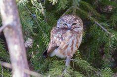 #wildlife #photography #birds #owl #sawwhet