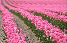 Fields of Pink Tulips, lovely!
