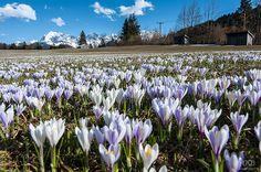 Crocus meadow - spring is here!
