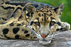 The clouded leopard (Neofelis nebulosa) Leopard Cub, Clouded Leopard, Leopard Animal, Snow Leopard Wallpaper, Cat Wallpaper, Extinct Animals, Rare Animals, Wild Animals, Lynx