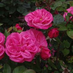 Climbing Titian :- Well formed blooms on a healthy pillar type rose.