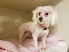 Maltese dog for Adoption in Social Circle, GA. ADN-449527 on PuppyFinder.com Gender: Female. Age: Adult