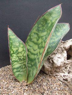 Sansevieria eliptica ex Thailand CG109.2