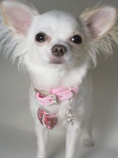 1000+ images about long haired chihuahua on Pinterest ...