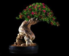 How For Making Your Landscape Search Excellent Bougainvillea Bonsai Bougainvillea Bonsai, Flowering Bonsai Tree, Indoor Bonsai Tree, Bonsai Plants, Bonsai Garden, Bonsai Trees, Plantas Bonsai, Ikebana, Mini Plantas