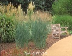 NATIVE. Blue Switch Grass - Panicum virgatum 'Heavy Metal'. Stiff metallic-blue blades distinguish this handsome selection from others. Retains upright, vertical form without flopping. Airy, pink-tinged panicles appear mid summer. Aging seed heads persist into winter, providing visual interest and food for birds. Bright yellow fall foliage provides an excellent accent. Perennial. Partial to full sun. Tight, upright clumps to 3 ft. tall, 2 to 3 ft. wide.