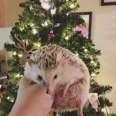 grimsley the hedgehog  (@grimsleythehedgehog) on Instagram: tis the season to be hoggy