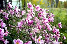 The Japanese Anemone or Windflower - hardy plants and will grow in sun or partial shade in fertile well drained, moisture retentive soil, so are best planted in under trees in dappled shade or in beds or boarders which get full sun but which retains a certain amount of moisture in the soil. Anemones are self seeding and will propagate very quickly if left to their own devices, this is why it is best to divide the plant.