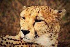 El guepardo caracteristicas reproduccion el mas veloz del mundo
