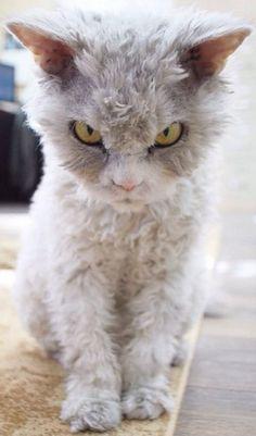 It's a Lamb Cat!