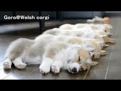 ▶ 20130720 Part 8 cute corgi puppies sleep / コーギー子犬 お昼寝 - YouTube